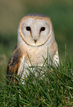 The Barn Owl Centre - Barn Owl