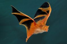 Photo - Painted Bat, native to Thailand. Bat pictures: 11 images and facts about a misunderstood creature - Orange painted bat Animals And Pets, Baby Animals, Cute Animals, Strange Animals, Beautiful Creatures, Animals Beautiful, Baby Bats, Cute Bat, Interesting Animals
