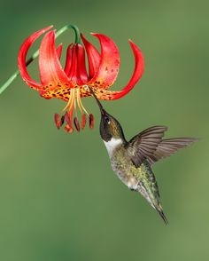 Ruby-throated hummingbird and Lily