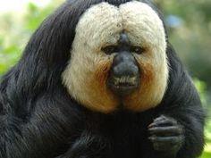 Saki Monkey