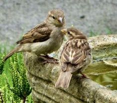 house sparrow females