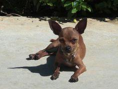Kanela Chihuahua mini