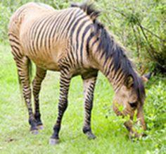 Zorse (Equus zebra x Equus caballus) - Animals - A-Z Animals ...