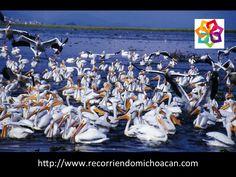 VACACIONES EN MICHOACÁN. Te cuenta sobre la realización del Séptimo Festival del Pelícano Borregón, evento que tiene como objetivo acercar la cultura a las comunidades michoacanas, así como promocionar y difundir el arribo de miles de pelícanos blancos de pico amarillo procedentes de Canadá. http://www.hoteldelfinplayaazul.com/