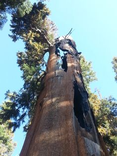 Even in the face of fire, sequoias are strong and can live healthily for thousands of years