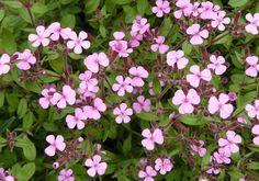 Mydlice bazalkovitá - Saponaria ocymoides :: LEVNE ROSTLINY . CZ Zinnias, Petunias, Rose Of Sharon, Verbena, Salvia, Ranunculus, Tulips, Lily, Herbs