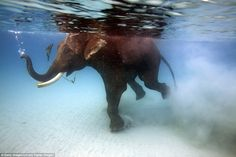 An elephant swimming at Havelock Island, located in India's Bay of Bengal, in waters so cl...