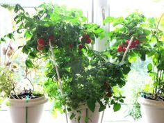Claves para cultivar tomates y pimientos