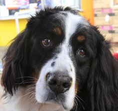 Teddy the PAC Therapy Dog at UCLA Health System. Teddy is a Bernese Mountain Dog and has 9 years of service.