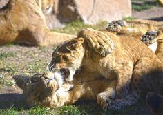 Las crías de león de Angola cumplen 7 meses - Bioparc Valencia