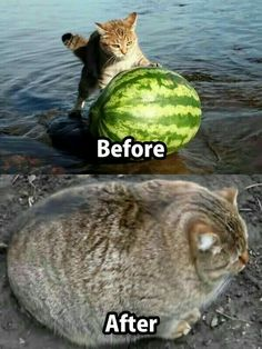 Funny Cat Memes 498421883761690718 - 35 Funny Cat Pictures That Are Just Hilarious Source by Funny Animal Jokes, Funny Cat Memes, Cute Funny Animals, Cute Baby Animals, Funny Dogs, Funny Captions, Animal Captions, Funniest Animals, Funny Cute Cats