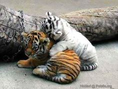 Awww, such cute tiger cubs!