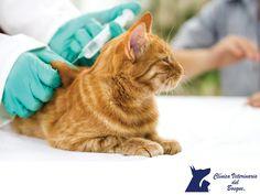 Vacunas para los gatos. CLÍNICA VETERINARIA DEL BOSQUE. No sólo los perros se vacunan, sino también los gatos, y hay varios tipos de estas para cuidar la salud de nuestra mascota, así como prevenir enfermedades como el calcivirus felino, la rinotraquetitis, leucemia, rabia, entre otras. En Clínica Veterinaria del Bosque contamos con especialistas para asesorarte sobre el esquema adecuado de vacunación para tu gato. www.veterinariadelbosque.com #mascotassaludables