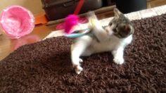 「仔猫物語」♀猫こむぎPart5 Kitten story Part5;猫おもしろ動画こむぎ&だいず