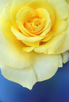 Yellow Rose, Blue Vase | Flickr - Photo Sharing!