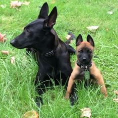 Luka and Zoey Belgian Malinois