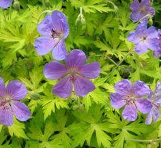 Geranium 'Blue Sunrise' 1 flower