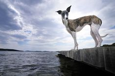 Whippets, Kangaroo, Angeles, Classy, Photography, Animals, Dogs, Baby Bjorn, Angels