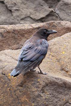 Raven - Common - juvenile - Grand Marais, MN - 02