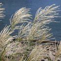 Miscanthus Sinensis 'Gracillimus',Maiden Grass 'Gracillimus', Eulalia 'Gracillimus', Chinese Silver Grass 'Gracillimus', Drought tolerant plant, Ornamental grass Gracillimus, Low maintenance ornamental grass