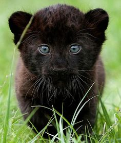 Adorable baby black panther