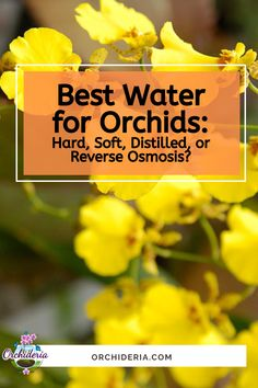 What's Best? Hard, Soft, or Distilled Water for Orchids? Orchids In Water, Indoor Orchids, Orchids Garden, Indoor Plants, Orchid Roots, Orchid Leaves, Orchid Plant Care, Orchid Plants, Orchid Diseases
