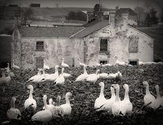 goose house by gypsymarestudios, via Flickr
