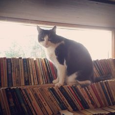 Cat lounging on books at the Book Barn in Niantic, CT.