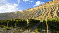 Vineyards in Colorados wine country - Palisade, CO