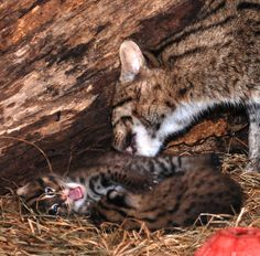 National Zoo's hard work pays off with the births of rare twin Fishing Cats!