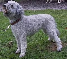 Image result for Pumi