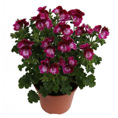 Tip Top Duet   Hendriks Young Plants