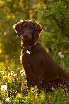 Flat Coated Retriever...These are really growing on me.