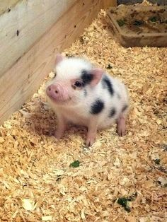 Far Enough Farm in Toronto, ON Pigs Micro piglet pet pig miniature pig baby pig animals pets baby pigs animal micro pigs videos micropig pet pigs family minipig small funny videos best piggie piggies Baby Farm Animals, Baby Animals Super Cute, Baby Animals Pictures, Cute Little Animals, Cute Animal Pictures, Cute Funny Animals, Baby Cows, Little Pigs, Wild Animals