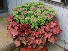 Heuchera 'Peach Flambe' planted around a taller Sedum - 'Autumn Joy' would be a good color match