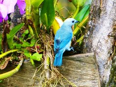 """Beautiful blue bird in Urabá, Colombia. In katía, a native language, Urabá means """"La tierra prometida"""" - """"The promised land"""". Come and get to know the hidden Caribbean Coast of Colombia! #travelandmakeadifference #Caribbean #Coast #beach #colombia #travel #bird #nature #wildlife"""
