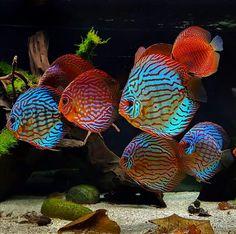 Discus #TropicalFishAquarium