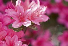 Como cuidar de azaleias. Plantas que geram flores lindas e encantadoras que fazem parte do imaginário de muitas noivas quando o assunto é buquê. As azaleias possuem uma coloração forte e vibrante e encanta a todos com seu cha...