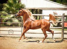 Truly Sun God Crabbet Egyptian Arabian Stallion | Belle Cheval