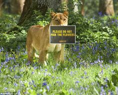 Stay away: Another member of the 12-lion pride stares out towards visitors at Longleat in front of the somewhat unnecessary sign