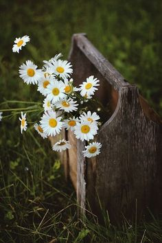 Happy Flowers, Wild Flowers, Beautiful Flowers, Beautiful Pictures, Margaritas Tumblr, Sunflowers And Daisies, Daisy Love, Flower Aesthetic, Flower Wallpaper