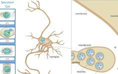 Τι κάνουν τα εξειδικευμένα κύτταρα;