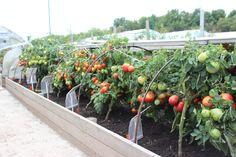 Гряды-короба для выращивания томатов