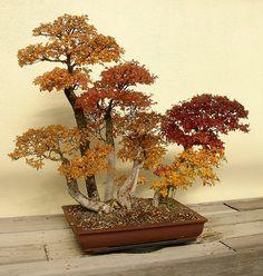 autumny bonsai.  gorgeousss