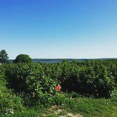 Can I just live here?  #LakeviewBerryFarm #blueberrypicking #wisconsinsummer
