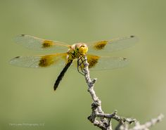 Band-Winged Meadowhawk ©Kevin Rutherford. Wild Bird Company - Boulder, CO, Saturday Morning Bird Walk in Boulder County - August 22, 2015.