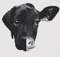 .perro vaca igual