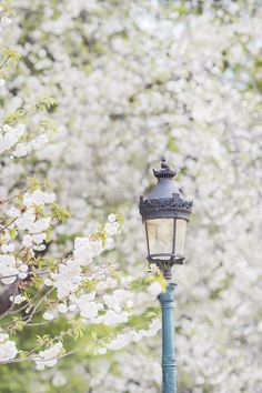 Beautiful white cherry blossoms in the gardens at Notre Dame in Paris.