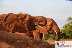 Abends, wenn die Elefantenwaisen von ihrem täglichen Ausflug in den Tsavo East Nationalpark zurück kehren, trinken sie ausgiebig am künstlichen Wasserloch der Station. Nairobi, Elephant, Animals, 3 Year Olds, Elephants, National Forest, Drinking, Animales, Animaux