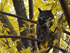Outdoor Quest: Great Horned Owl Picture